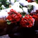 雪をかぶったゼラニュウム
